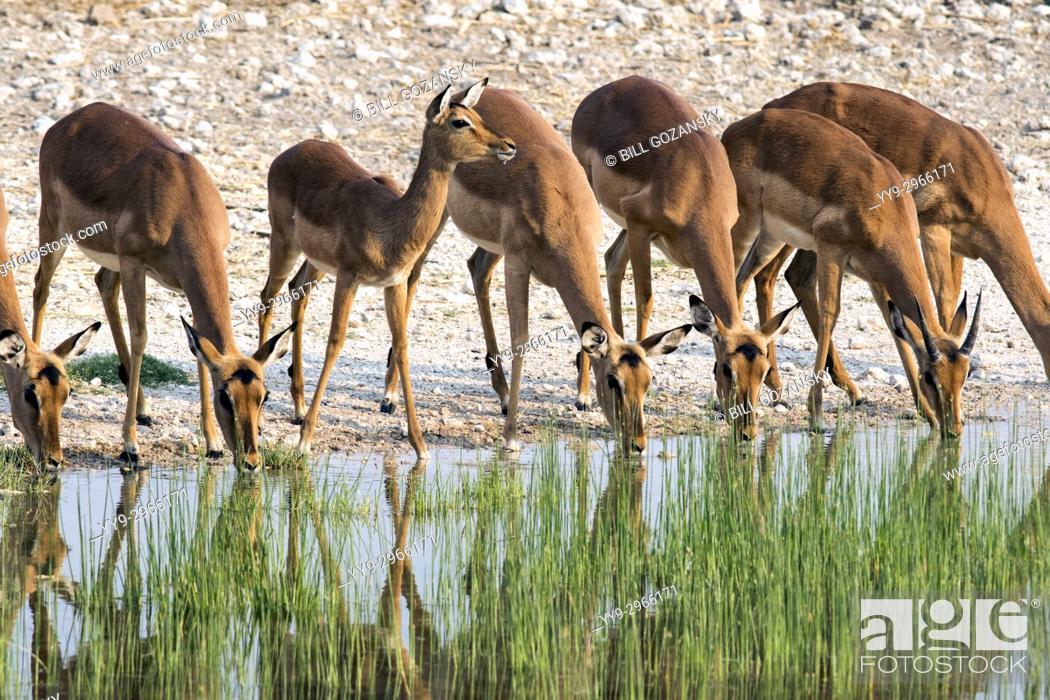 Stock Photo: Impala drinking at waterhole - Onguma Bush Camp, Onguma Game Reserve, Namibia, Africa.