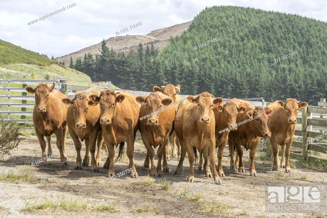 Stock Photo: group of attentive cows in paddock, shot in bright spring light near Kakahul, Canterbury, South Island, New Zealand.