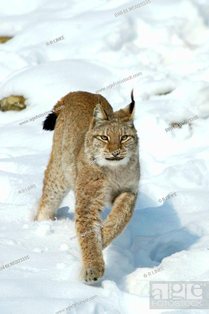 Stock Photo: Eurasian lynx Lynx lynx, jumping through snow.
