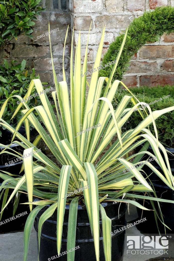 Garten-Palmlilie Golden Sword Yucca flaccida Golden Sword