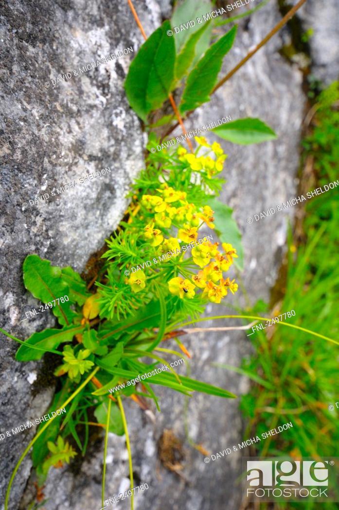 Stock Photo: Cypress spurge Euphorbia cyparissias flowers growing on rock, Styria, Austria.