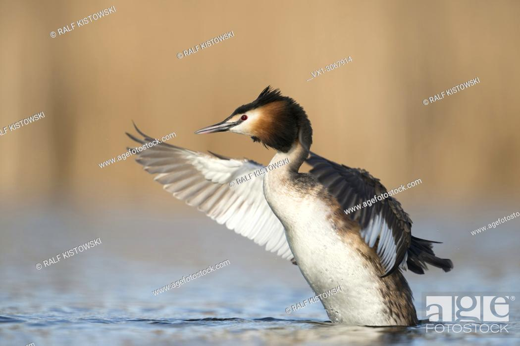 Stock Photo: Great Crested Grebe (Podiceps cristatus), adult, rearing high up out of the water beating with its wings, wildlife, Germany, Europe.
