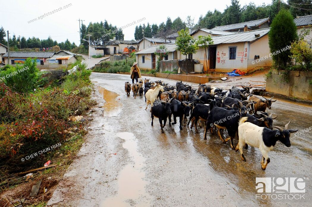 Stock Photo: Goat herder with goats in Dongchuan, Red Land, Yunnan Province, Peoples Republic of China.
