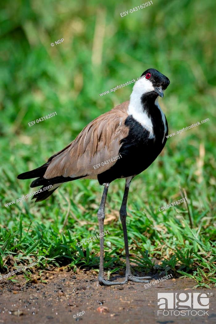 Stock Photo: Blacksmith plover with head cocked beside grass.