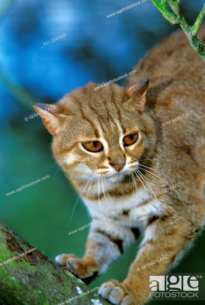 Stock Photo: Rusty-Spotted Cat, prionailurus rubiginosus.