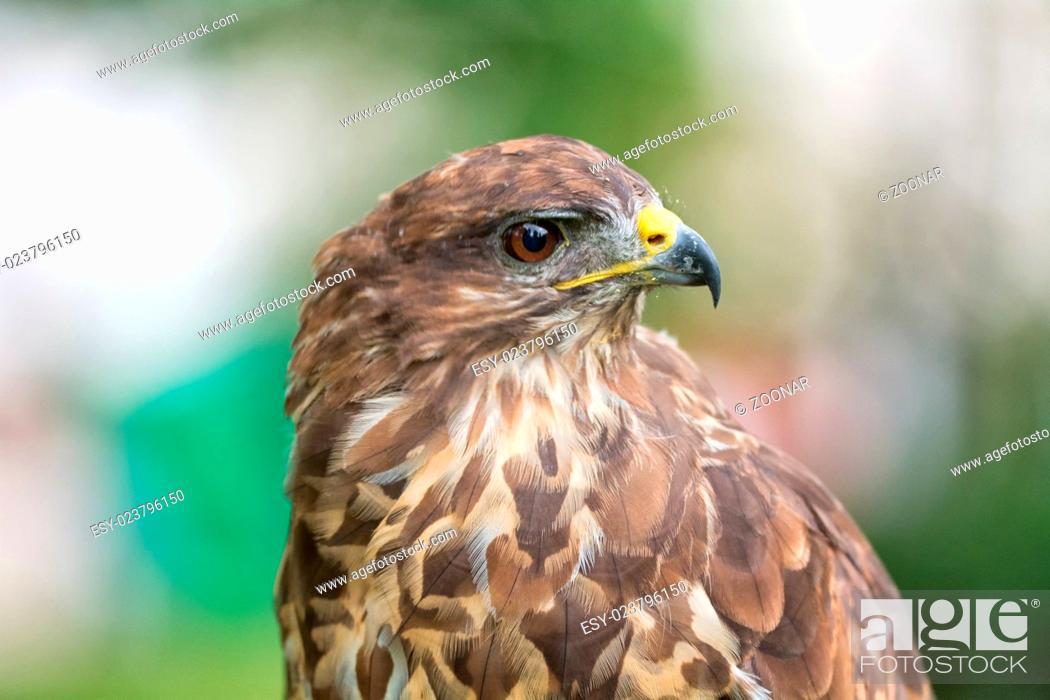 Stock Photo: Portrait buzzard.
