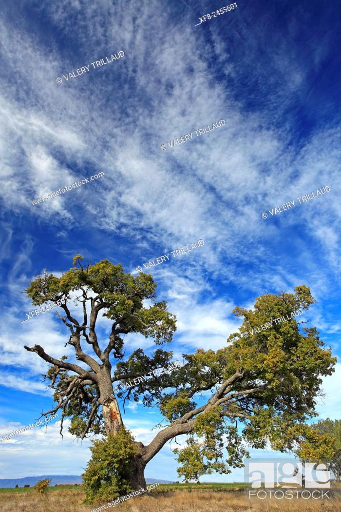 Stock Photo: Old oak, Alpes de Haute Provence, Provence-Alpes-Côte d'Azur, France.