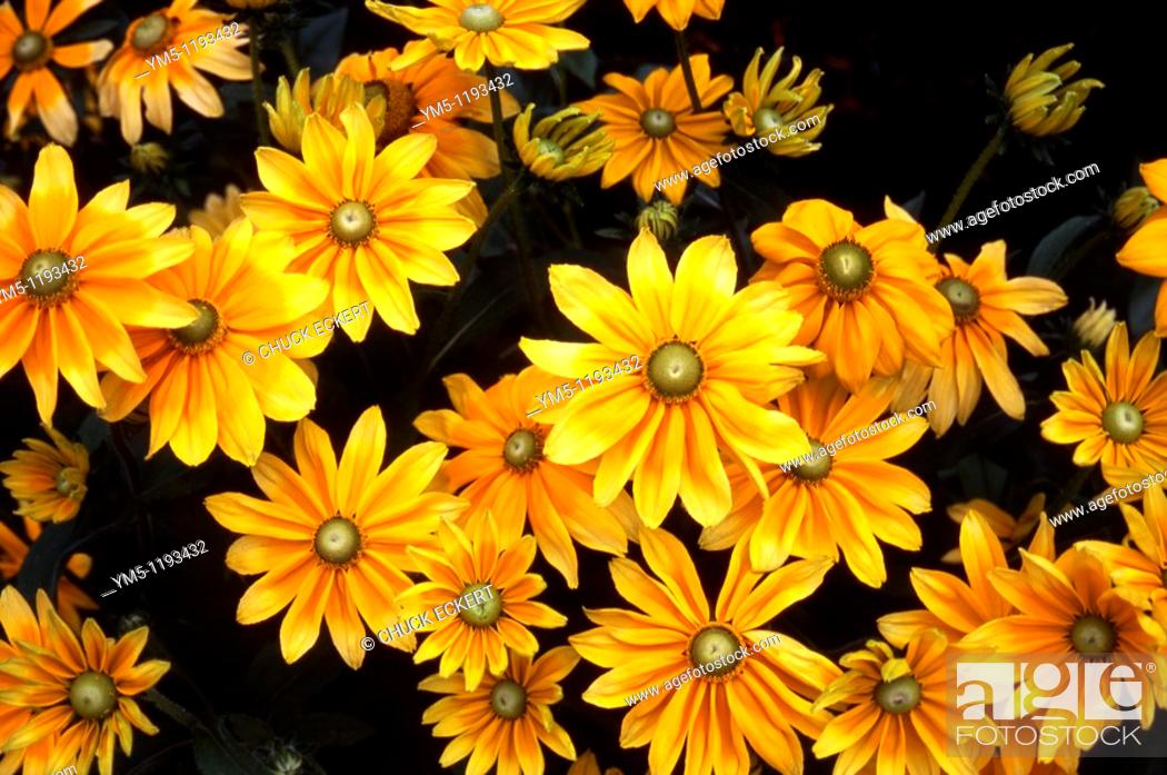Stock Photo: Green Eyed Susan's viewed from above a garden on Mackinac Island, Michigan, USA.