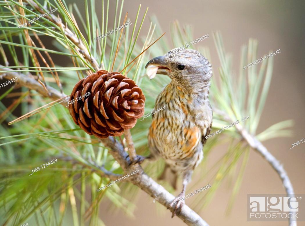 Stock Photo: Crossbill Loxia curvirostra eating seeds from a pine fruit, Escorca, Majorca, Spain.