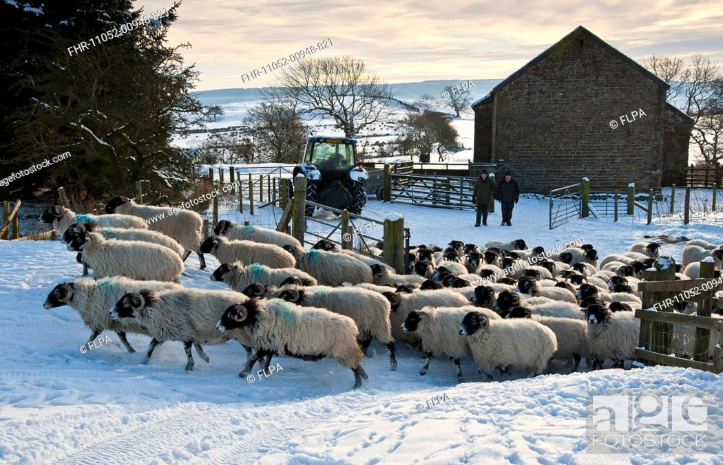 Domestic Sheep Swaledale Ewes Flock Moved Into Snow Covered