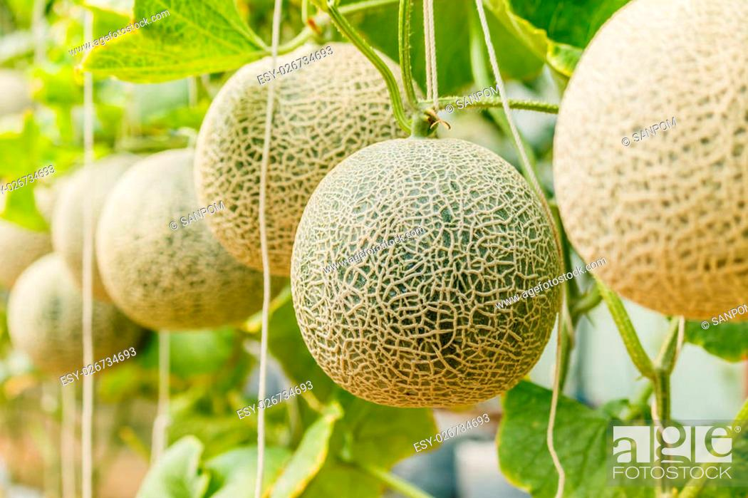 Cantaloupe Tree / I have been watering this morning and found.