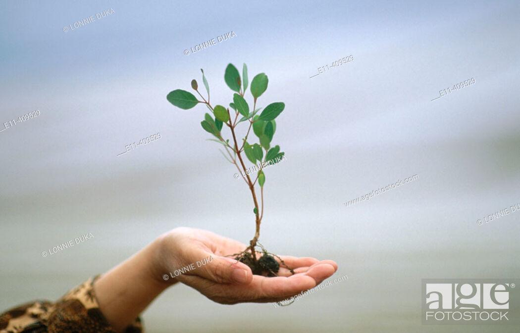 Stock Photo: Hand holding a small eucalyptus tree.