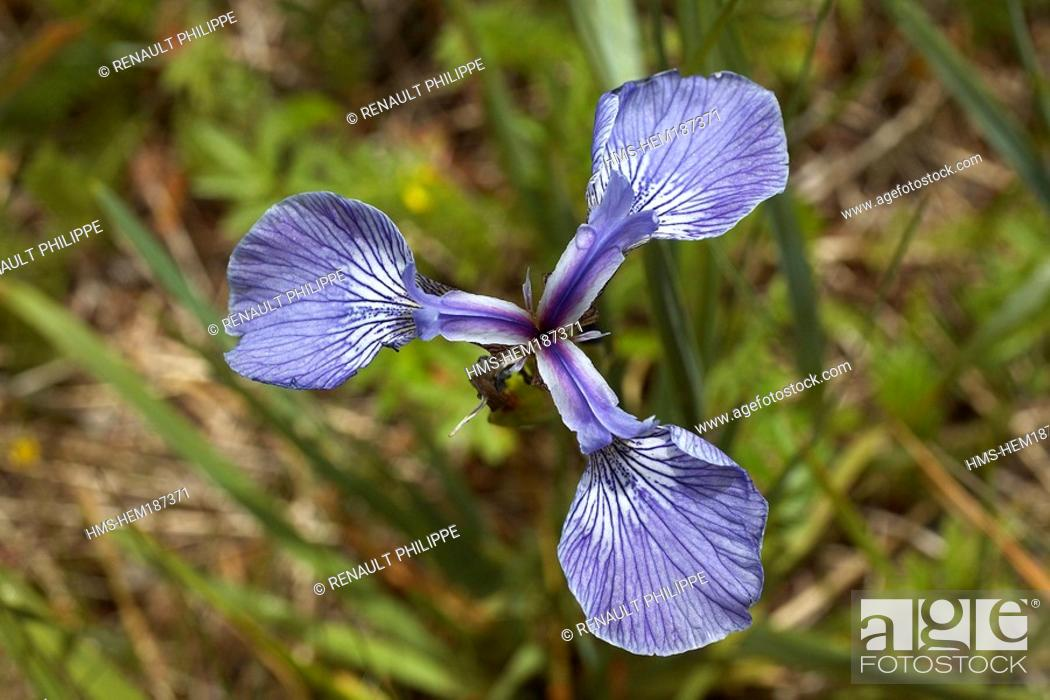 canada quebec province blue flag quebec national flower stock