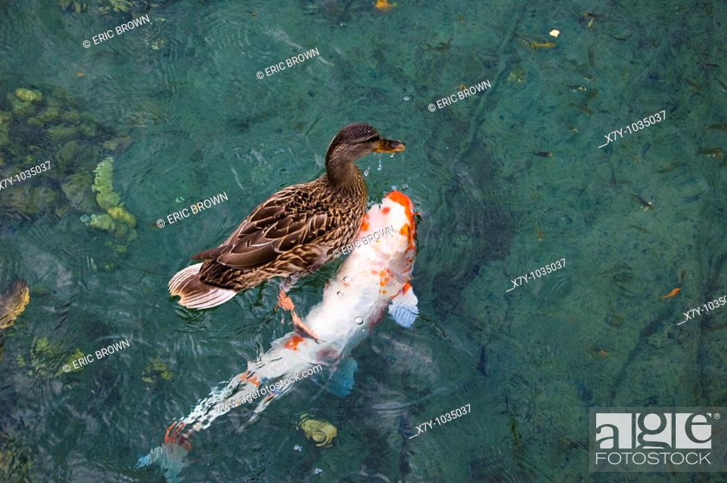 Stock Photo: A duck swims atop a fish in a pond.