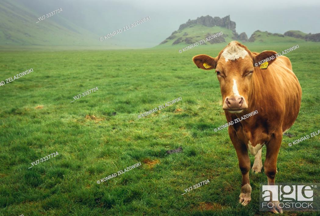 Stock Photo: Cow on a pasture in Iceland.