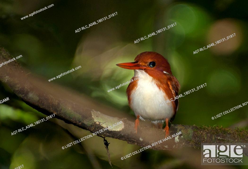 Stock Photo: Madagascar Pygmy-Kingfisher.