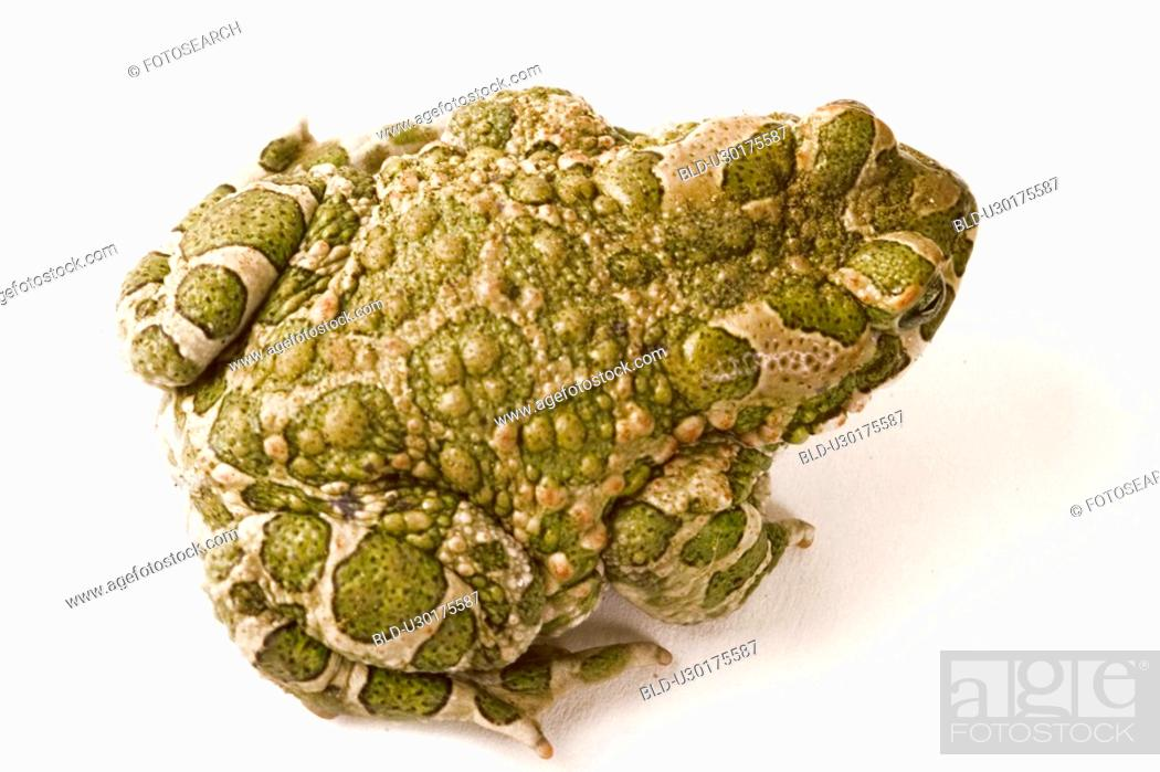 Stock Photo: animals, frog, bufonidae, back view, alfred.
