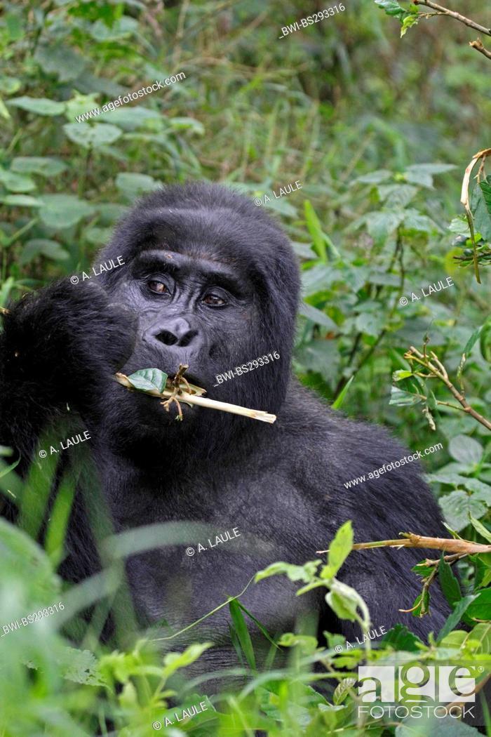 Stock Photo: Mountain gorilla (Gorilla beringei beringei), portrait eating, Uganda, Bwindi Impenetrable National Park.