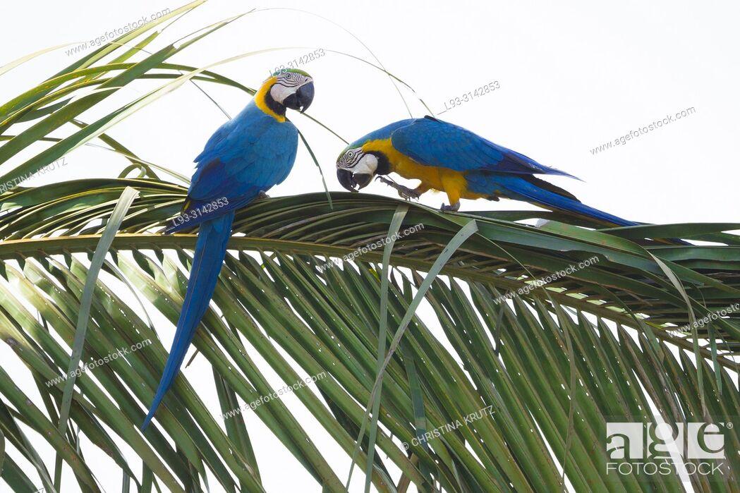 Stock Photo: Blue and yellow macaw (Ara ararauna) in palm tree, pair, Brazil.