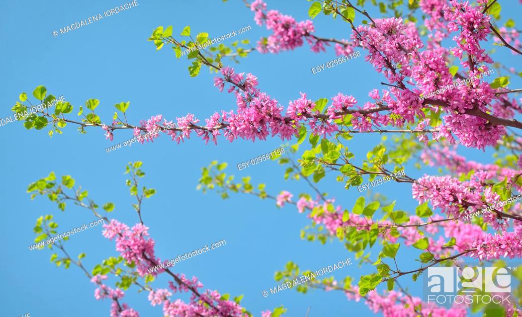 Imagen: Cercis siliquastrum- Judas tree in spring time.