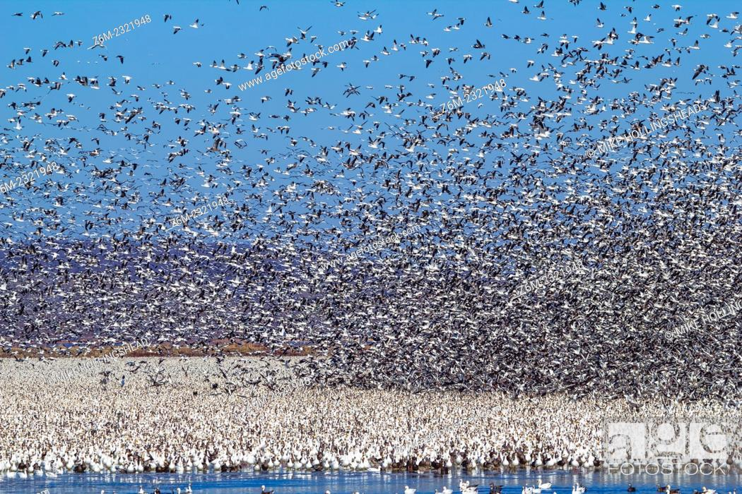 Stock Photo: 2011 spring snow geese migration maxes out around 1.3 million at Squaw Creek NWR in northwest Missouri.