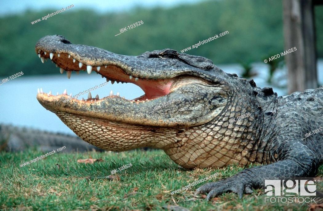 Stock Photo: American Alligator, Everglades national park, Florida, USA (Alligator mississippiensis).