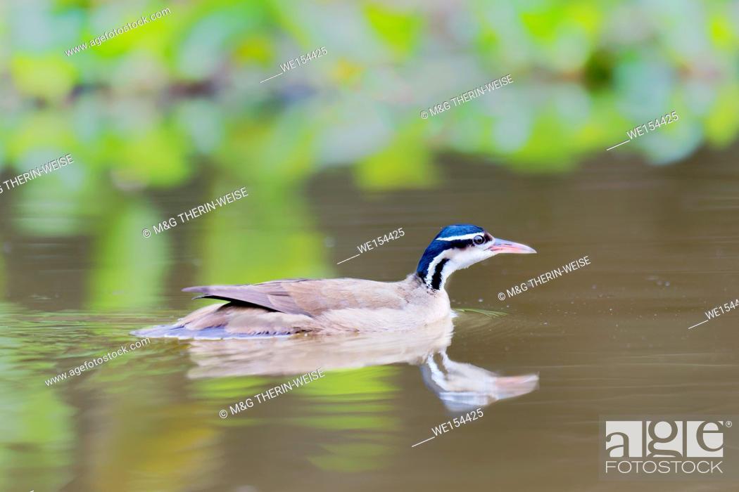 Stock Photo: Swimming Sunbittern (Eurypyga helias), Pantanal, Mato Grosso, Brazil.