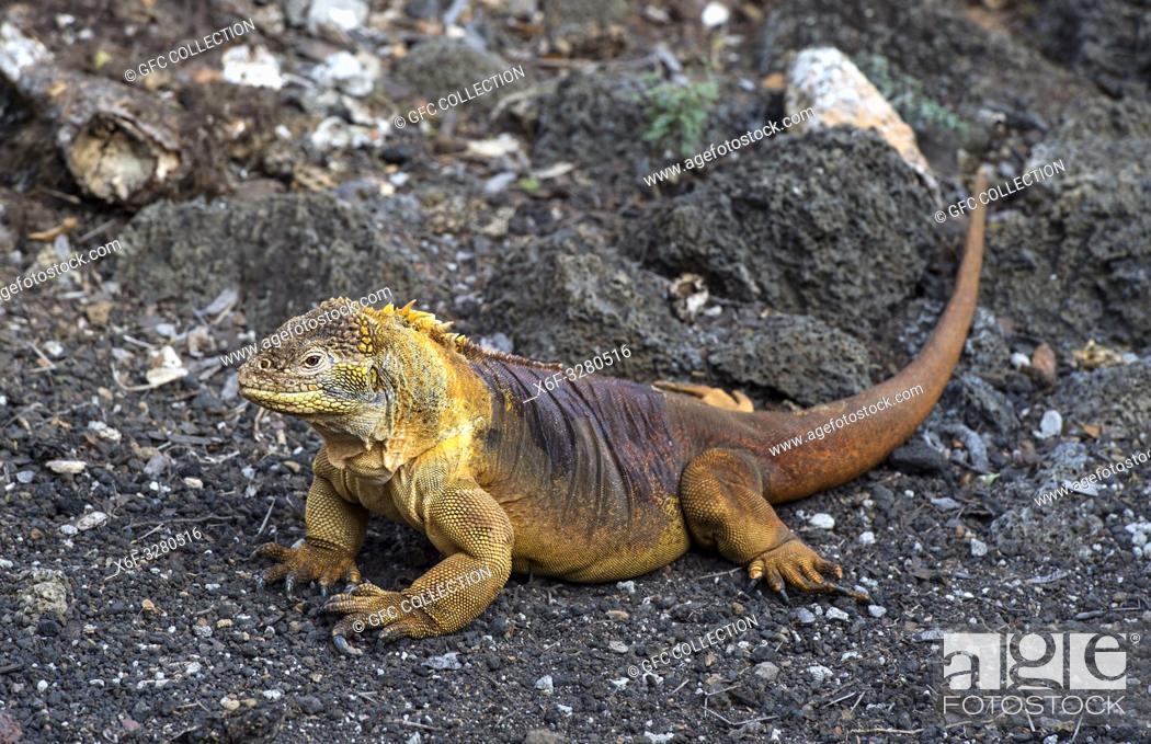 Photo de stock: Galapagos Land Iguana (Conolophus subcristatus), Iguanidae familySanta Cruz Island, Galapagos Islands, Ecuador.