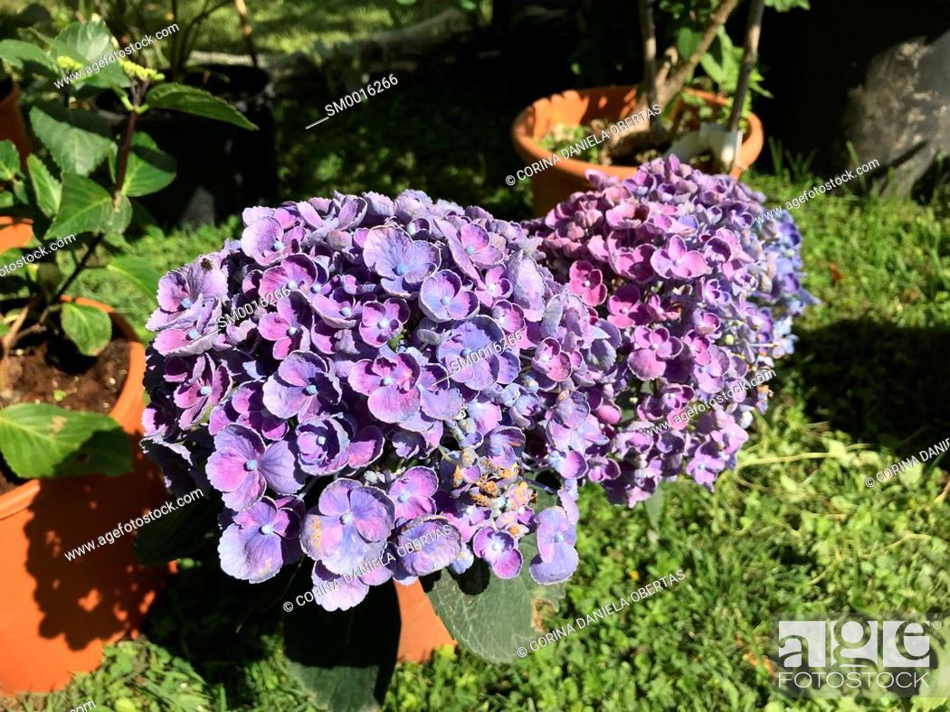 Stock Photo: Huge inflorescences of purple Hydrangea Macrophylla in a garden in May.