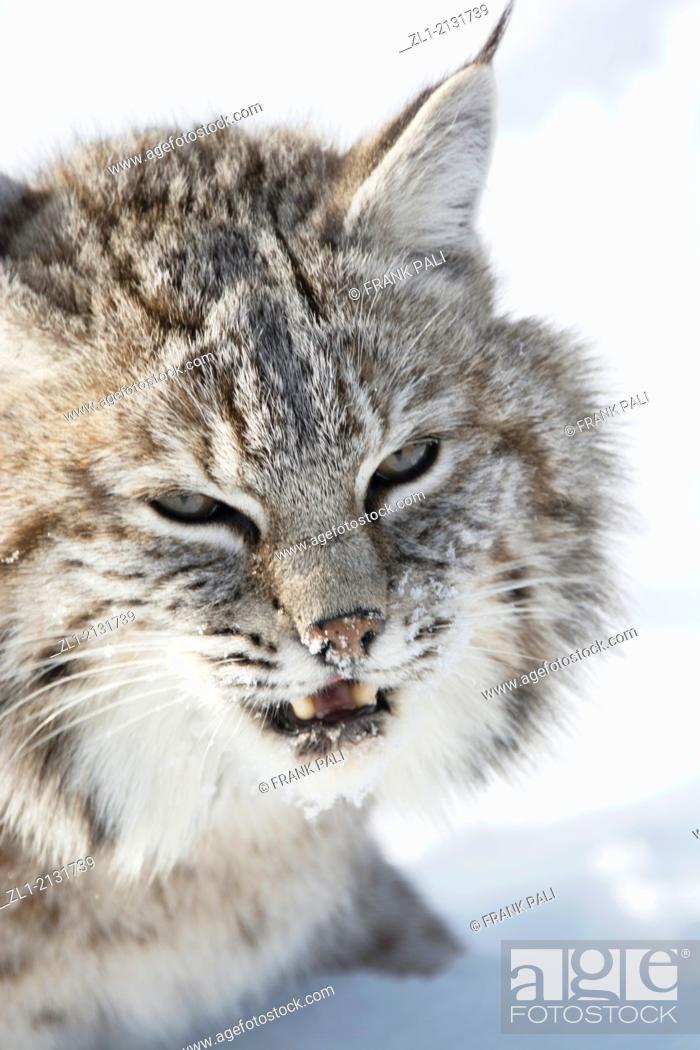 Stock Photo: Bobcat (Lynx rufus) Captive young individual in late winter mountain habitat, Bozeman, Montana, USA.