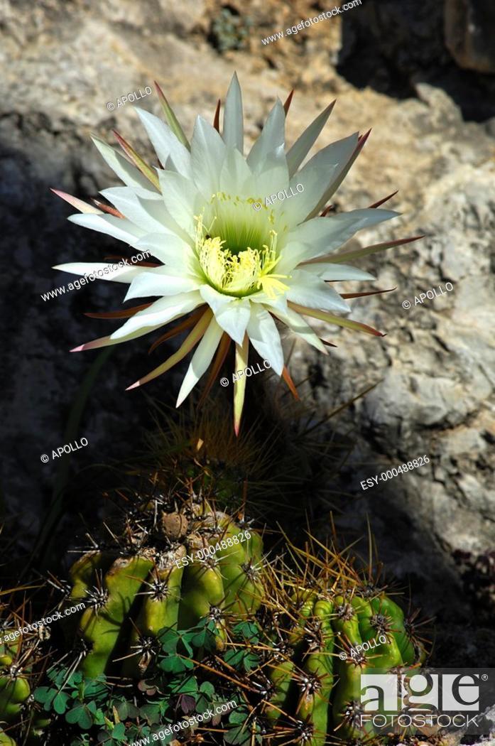 Stock Photo: Giant cactus flower.