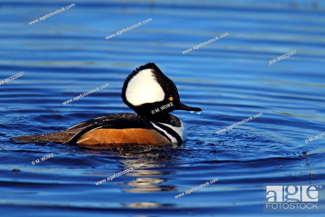 Stock Photo: hooded merganser (Mergus cucullatus), swimming drake, USA, Florida.