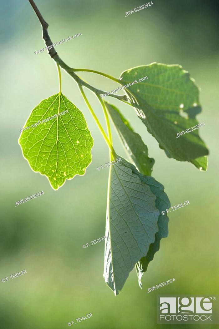 Stock Photo: white poplar, silver-leaved poplar, abele (Populus alba), leaves on a tree, Germany.