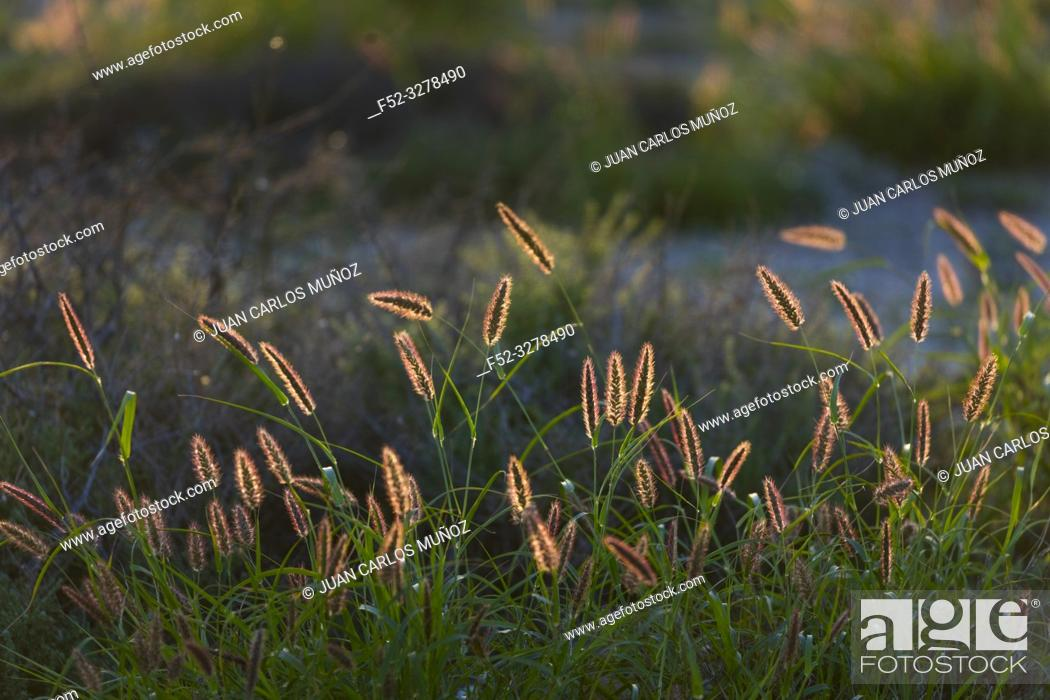 Stock Photo: Vegetation, Soo, Lanzarote Island, Unesco Biosphere Reserve, Canary Islands, Spain, Europe.