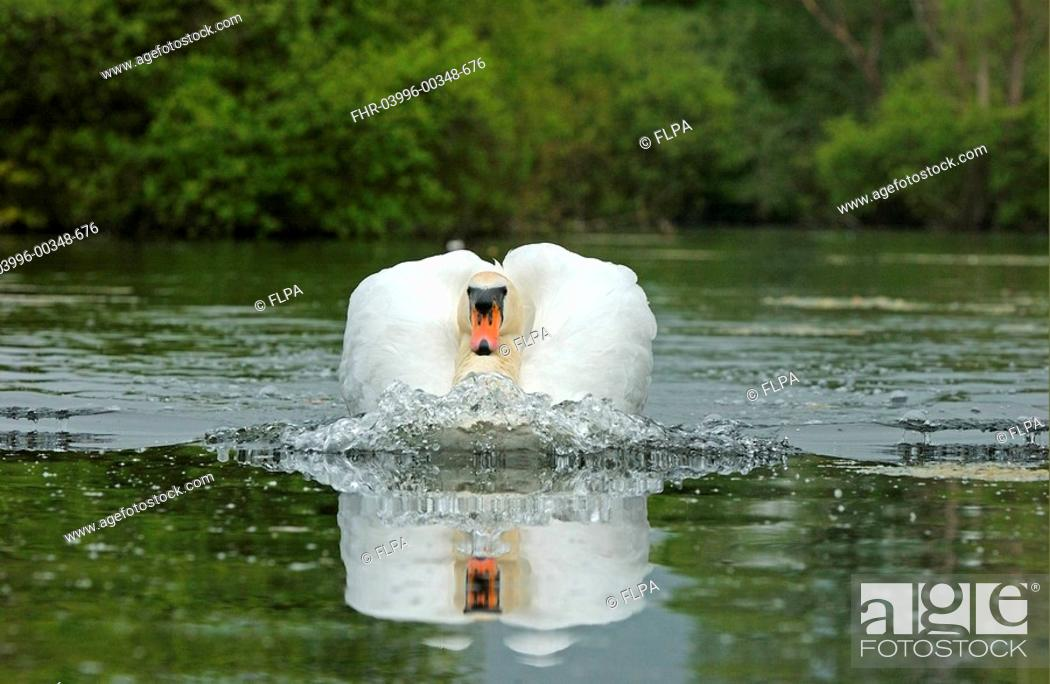 Stock Photo: Mute Swan Cygnus olor adult swimming, making bow wave, Oxfordshire, England.