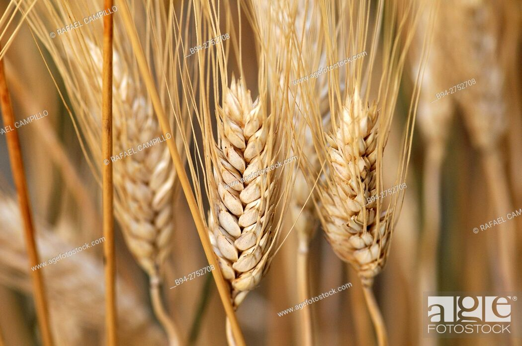 Stock Photo: Cereal. Wheat ears.