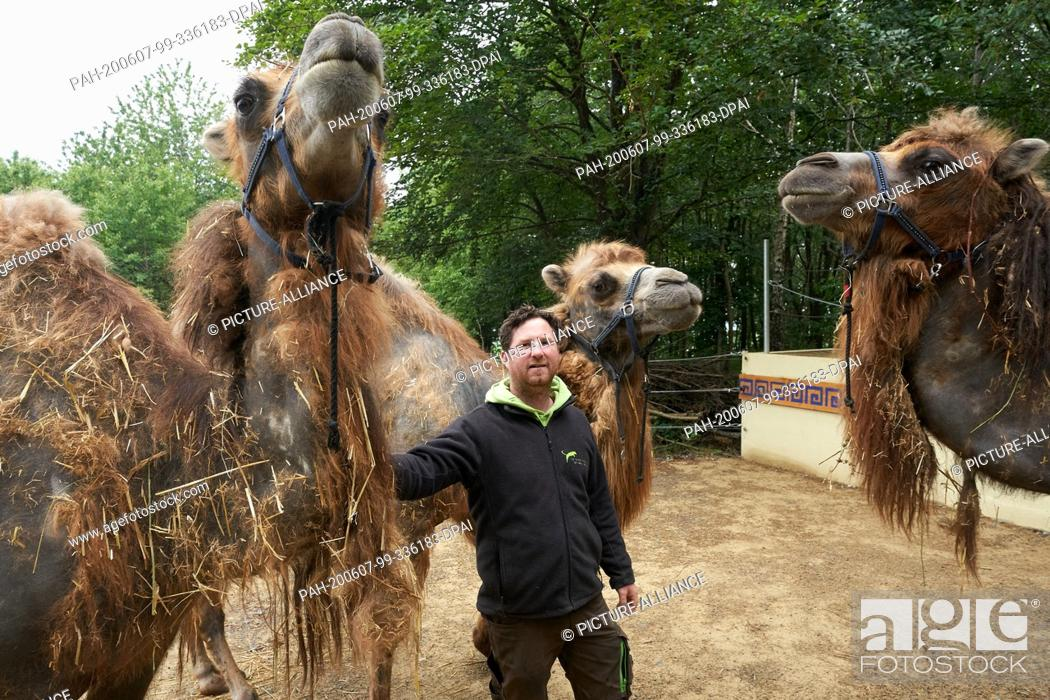 Stock Photo: 04 June 2020, Rhineland-Palatinate, Bell: Zoo director Remo Müller is standing between three camels that came from a confiscation in Switzerland and have found.