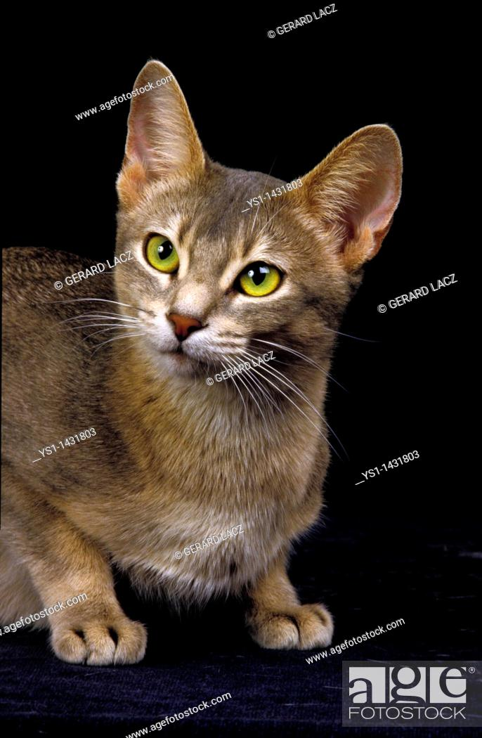 Stock Photo: BLUE ABYSSINIAN DOMESTIC CAT, PORTRAIT OF ADULT AGAINST BLACK BACKGROUND.