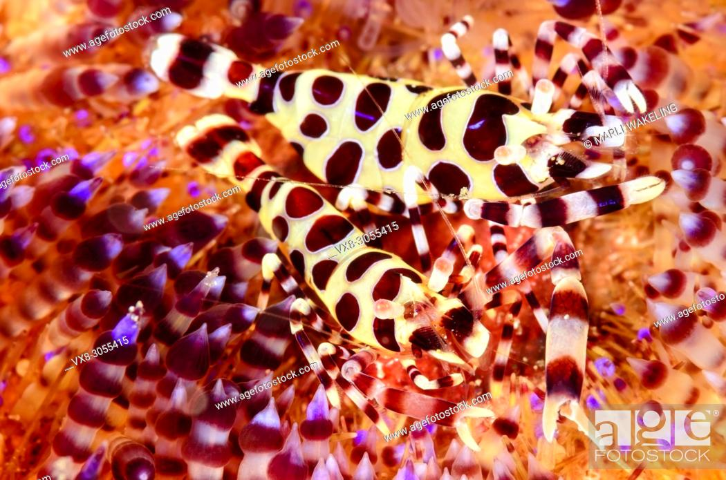 Stock Photo: Coleman's fire urchin shrimp, Periclimenes colemani, Lembeh Strait, North Sulawesi, Indonesia, Pacific.
