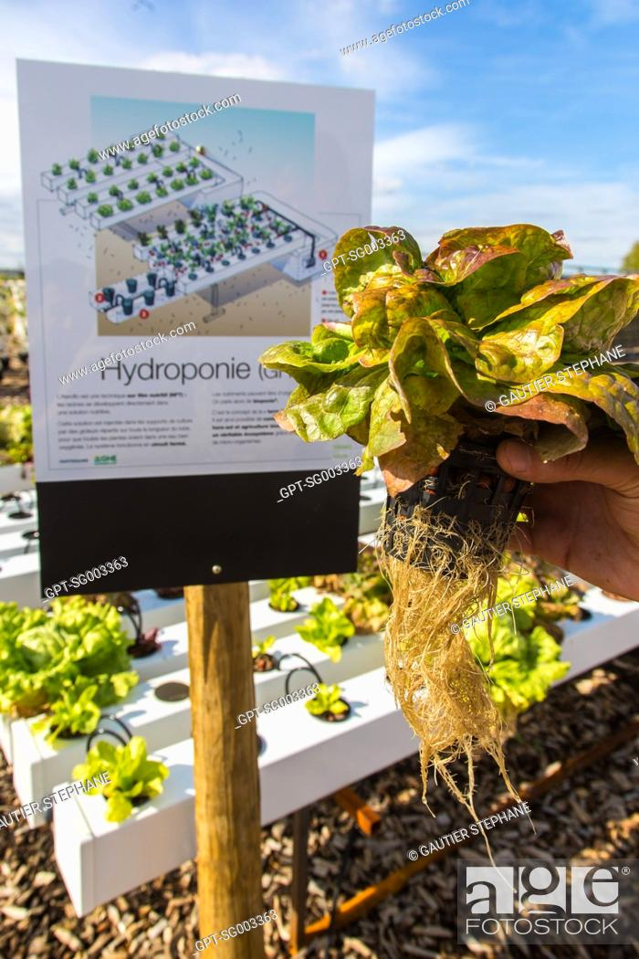 Stock Photo: HYDROPONIC GROWING OF LETTUCE, EXPERIMENTAL FARMING PARCEL, PREMIER DEMONSTRATOR OF URBAN FARMING, AN INNOVATIVE SOLUTION FOR REHABILITATING WASTELANDS.