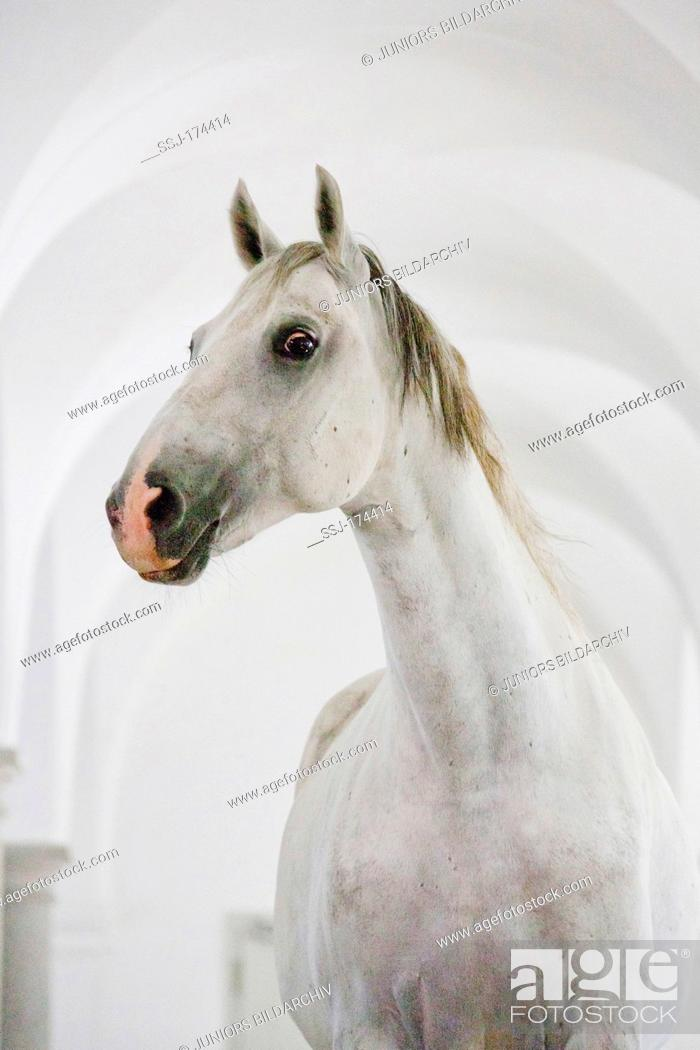 Stock Photo: Lipizzan Horse. Stallion Bonavoia standing in a ballroom-hall in Schloss Hof, one the biggest baroque palaces in Europe. Austria.