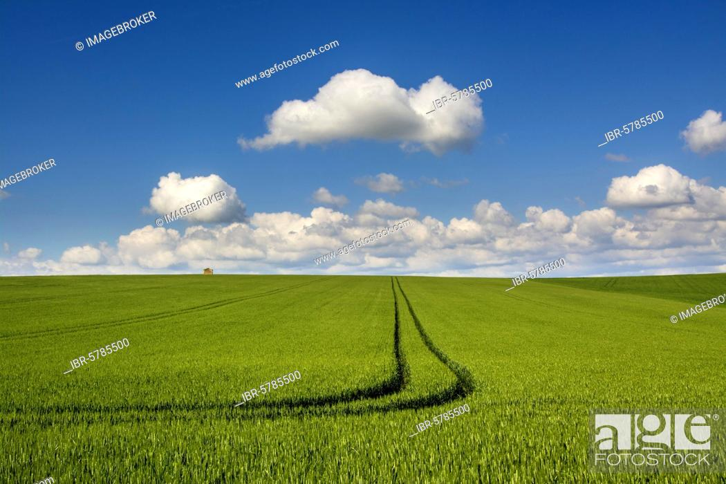 Stock Photo: Tracks in a field of wheat, Puy de Dome department, Auvergne Rhone Alpes, France, Europe.