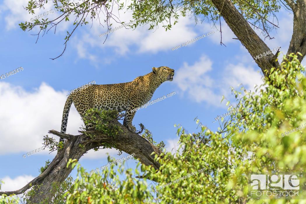 Stock Photo: Leopard, Panthera pardus, on tree, Masai Mara National Reserve, Kenya, Africa.