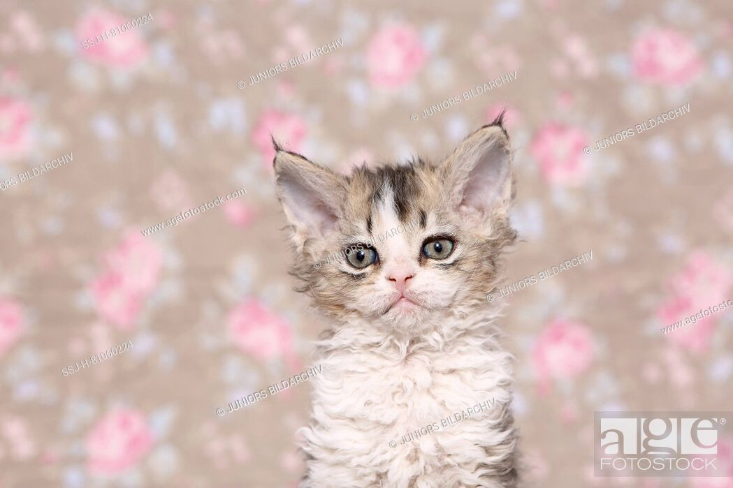 Imagen: Selkirk Rex. Kitten (6 weeks old) sitting, portrait. Studio picture seen against a floral design wallpaper. Germany.
