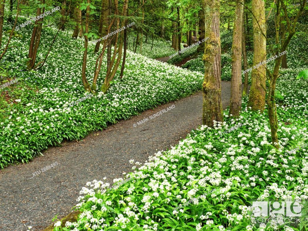 Stock Photo: Wild Garlic Flowers by a Footpath through Strid Wood at Bolton Abbey North Yorkshire England.