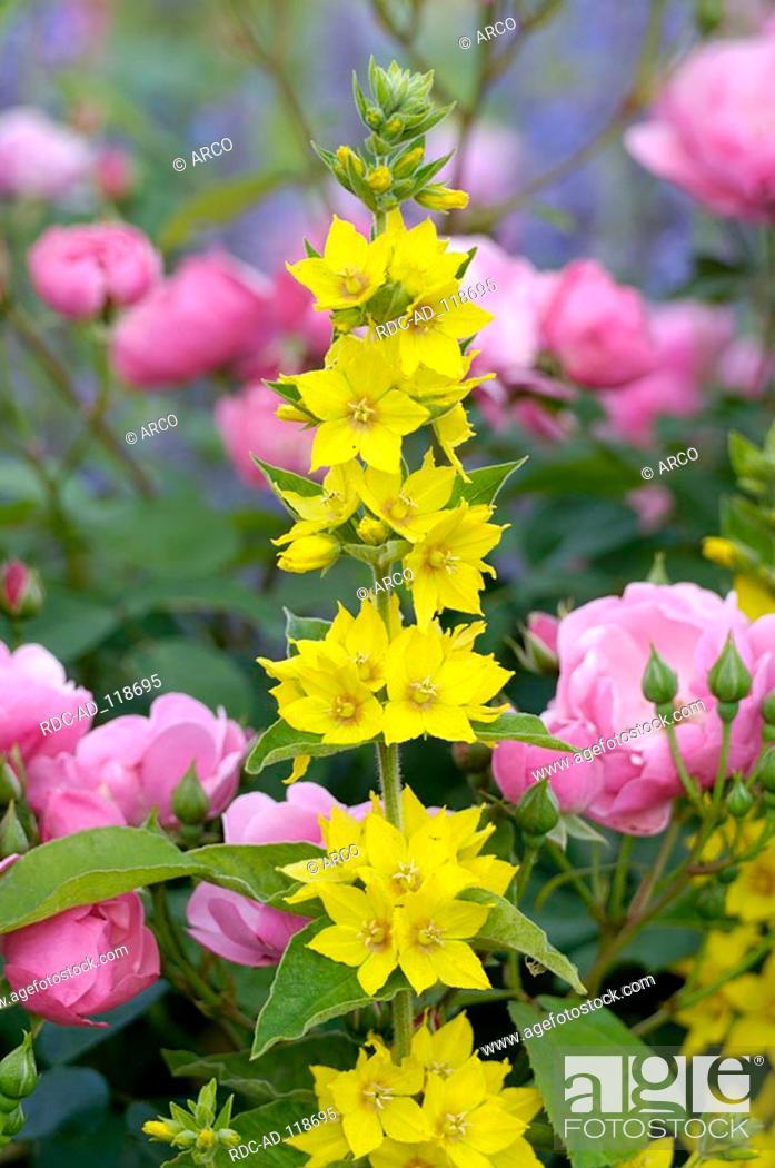 Yellow Loosestrife and Rose 'Angela' Lysimachia vulgaris
