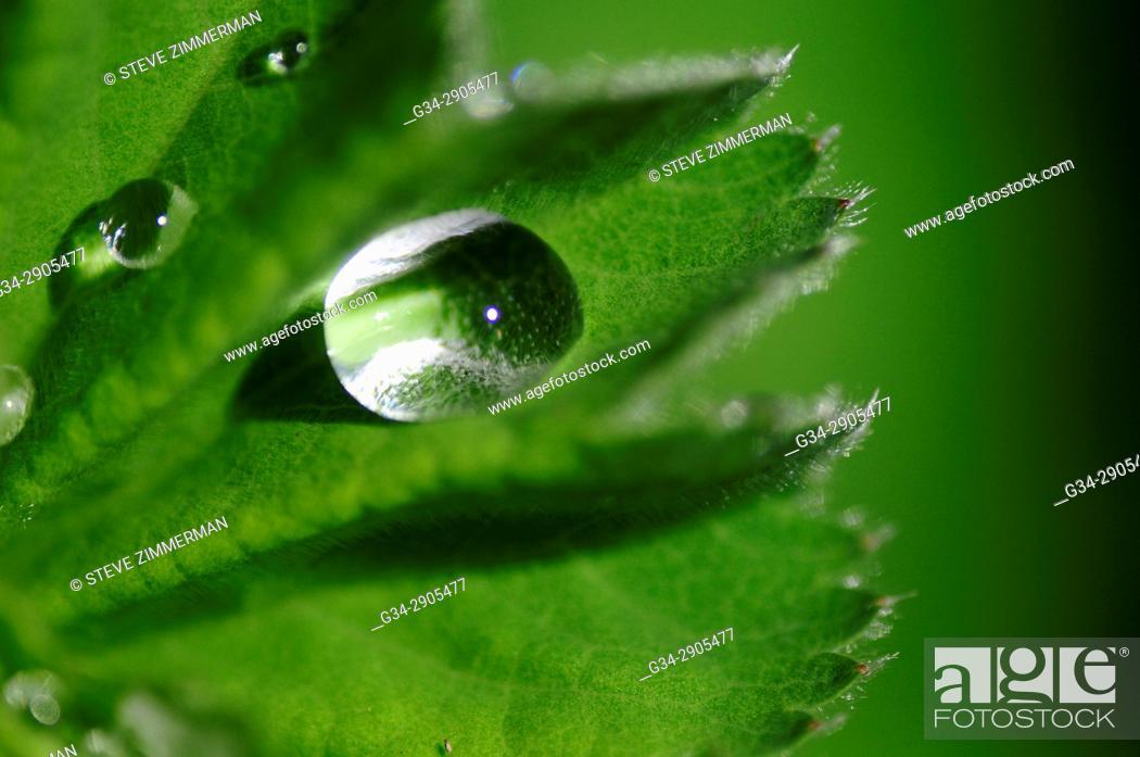 Stock Photo: Green Leaf Drop.