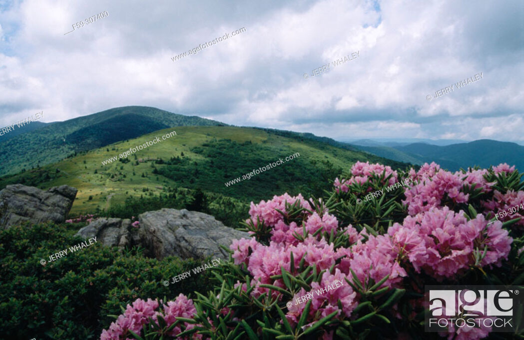 Stock Photo: Rhododendron (Rhododendron sp.). Appalachian Trail. Pisgah National Forest. North Carolina, USA.