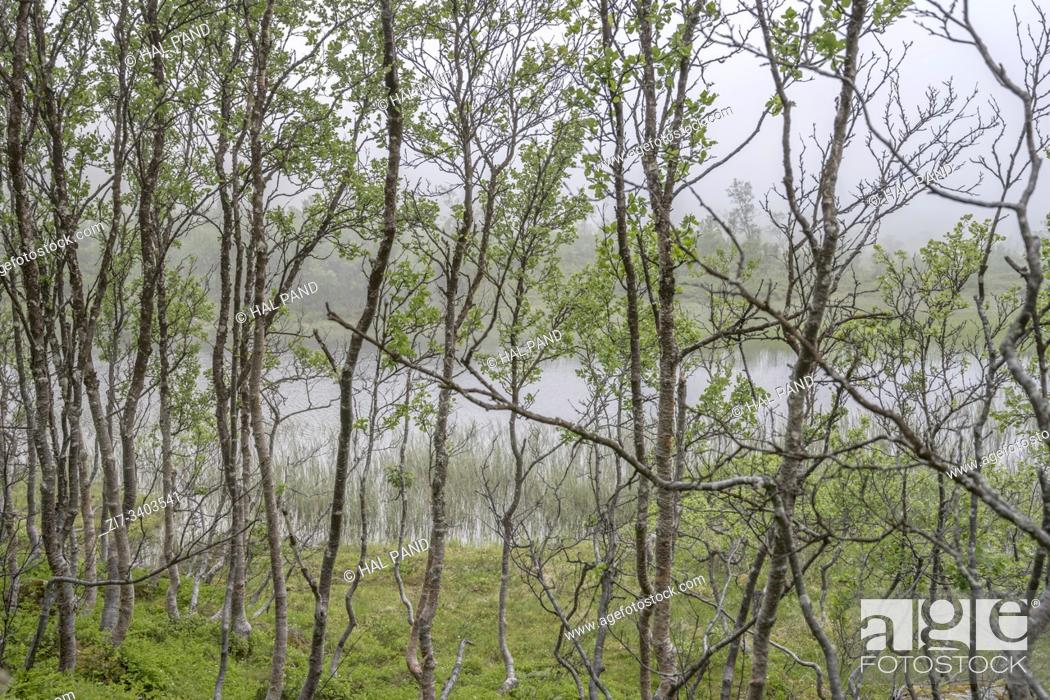 Stock Photo: landscape with young birch tree wood on shore at mountain little lake in mist, shot in cloud at Aun lake, Hinnoya, Vesteralen, Norway.