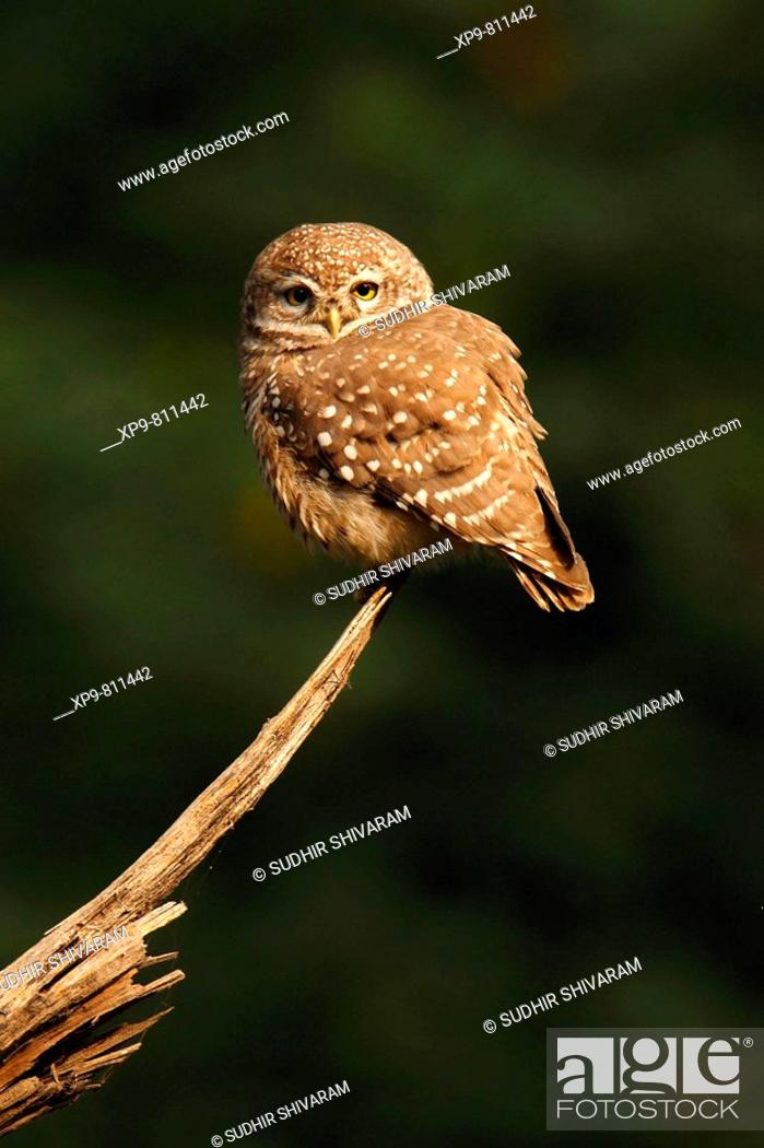 Stock Photo: Spotted Owlet. Keoladeo Ghana National Park, Rajasthan, India.